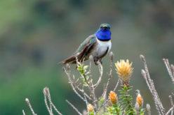 Kolibri qushining yangi turi kashf etildi