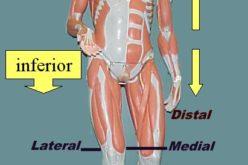 Anatomik terminologiya