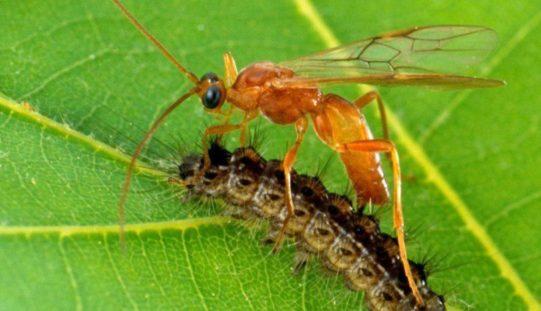 Parazit va parazitoid bitta tushunchami?